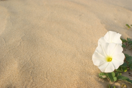 a white flower on a sandy background photo