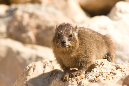 nature reserves of israel: Procavia capensis Stock Photo