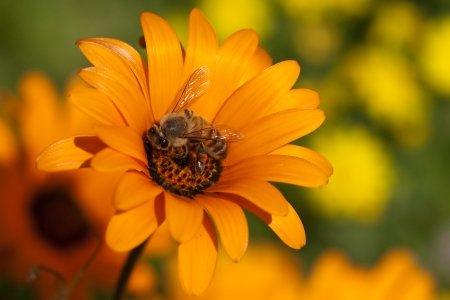 Bee on a big Orange flower photo