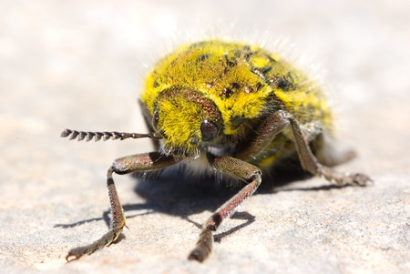 amasing: big yellow beatle posing at the camera