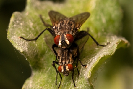 flies making love on a leaf  in the garden photo