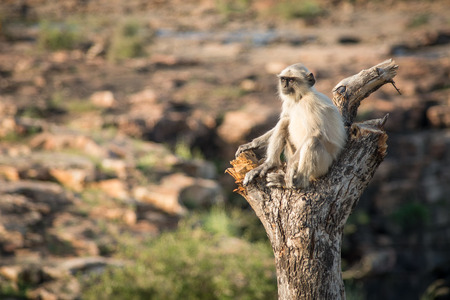 semnopithecus: Blace faced monkey, grey langur sitting on a tree in Rajasthan - India Stock Photo
