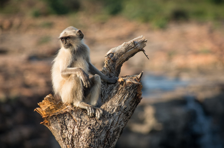 faced: Blace faced monkey, grey langur sitting on a tree in Rajasthan - India Stock Photo