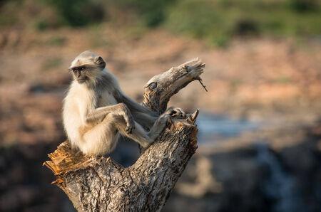 hanuman langur: Blace faced monkey, grey langur sitting on a tree in Rajasthan - India Stock Photo