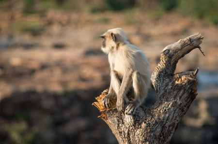 gray langur: Blace faced monkey, grey langur sitting on a tree in Rajasthan - India Stock Photo