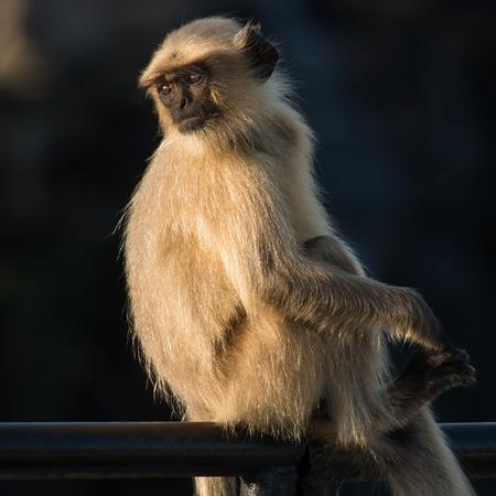 gray langur: Blace faced monkey, grey langur sitting  in Rajasthan - India