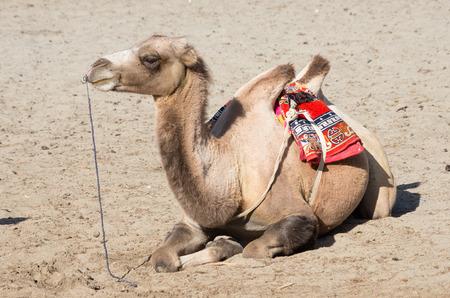 ladakh: bactrian camel in nubra valley, Ladakh, India