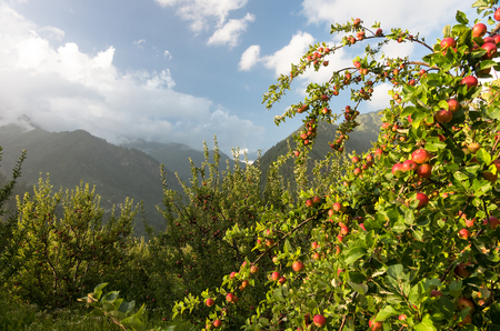 apple orchards at Parvati valley scenery - Himachal pradesh, India