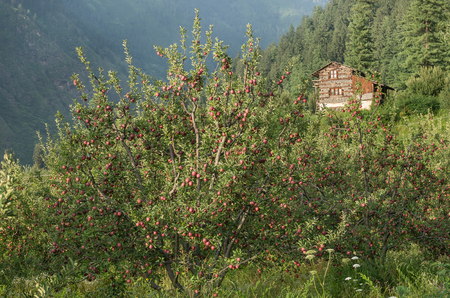 parvati: apple orchards at Parvati valley scenery - Himachal pradesh, India
