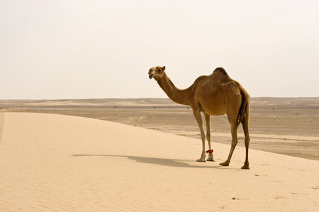 one humped: One humped desert camel in the sand
