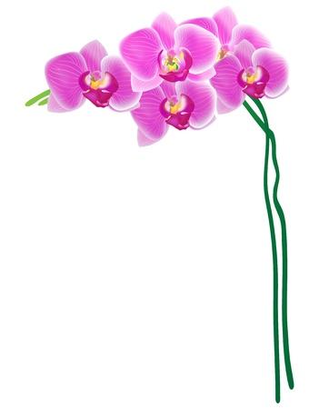 orchidee: Vector Orchid isolato su sfondo bianco