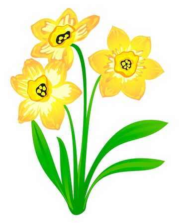 Vector narcissus, isolated on white Vector