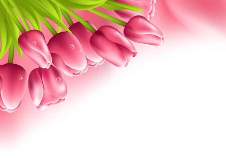 silk fabric: Tulipanes de color rosa y la tela de seda sobre fondo blanco