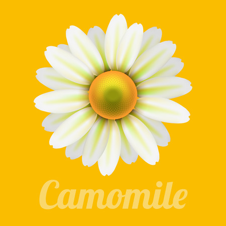daisyflower: Beautiful daisy flower camomile. Illustration