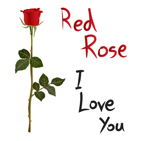 meaning: Red Rose Meaning isolated on White Background Vector Illustration Illustration
