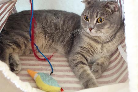 Gato juega con el juguete