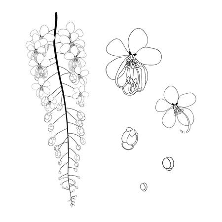 Cassia Fistula - Gloden Shower Flower Black White Vector Illustration