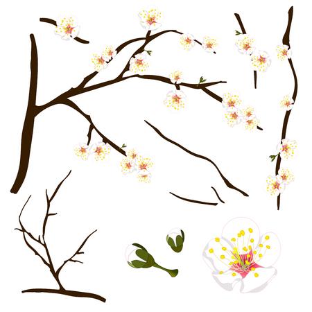Prunus mume - White Chinese plum, Japanese apricot flower, Plum Blossom. Illustration