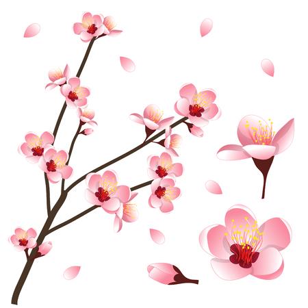 Prunus persica - Peach Flower Blossom. Illustrazione vettoriale isolato su sfondo bianco. Vettoriali