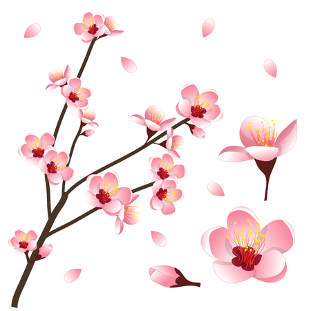 Prunus persica - Peach Flower Blossom. Vector Illustration. isolated on white Background.