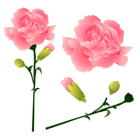 Dianthus caryophyllus - Carnation Flower, Clove Pink. National flower of Spain, Monaco, and Slovenia. Vector Illustration. isolated on white Background.