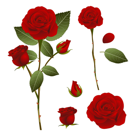 single flower: Beautiful Red Rose - Rosa. Valentine Day. Vector Illustration. isolated on White Background.