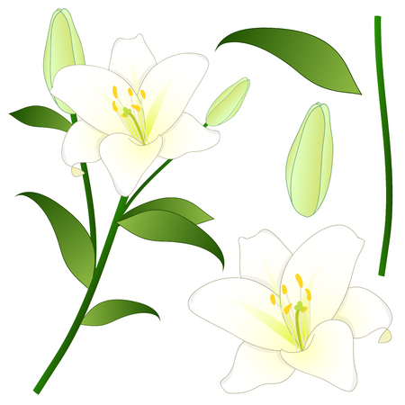 Lilium candidum, the Madonna lily or White Lily. National Flower of Italy. Vector Illustration. Isolated on White Background.