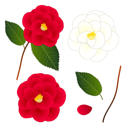 White and Red Camellia Flower. isolated on White Background. Vector Illustration.