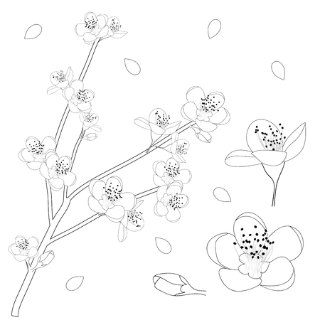 Prunus persica Outline - Peach Flower Blossom. Vector Illustration. isolated on white Background.  イラスト・ベクター素材