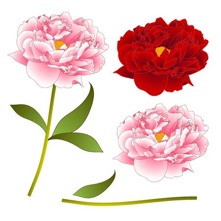 Pink and Red Peony Flower. isolated on White Background. Vector Illustration. Illustration