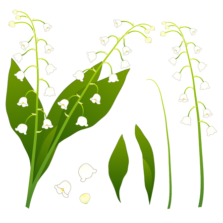 White Lily of the Valley. isolated on White Background. Vector Illustration. Ilustracja