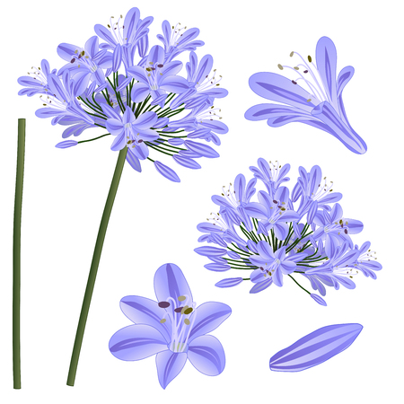 Blue Purple Agapanthus - Lily of the Nile, African Lily. Vector Illustration. isolated on White Background.