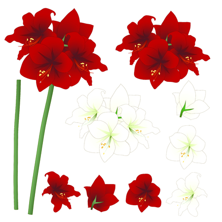 Red and White Amaryllis - Hippeastrum. Christmas Flower. Vector Illustration. isolated on White Background.