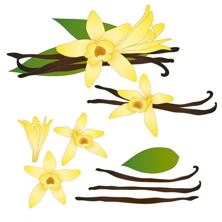 Vanilla Planifolia Flower and Vanilla Pods or Beans. Ice Cream Flavor. Vector illustration. isolated on White Background.