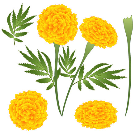 Marigold Flower - Tagetes. Vector Illustration. isolated on White Background