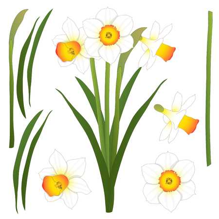 Daffodill - Narcissus. Vector Illustration. isolated on White Background.