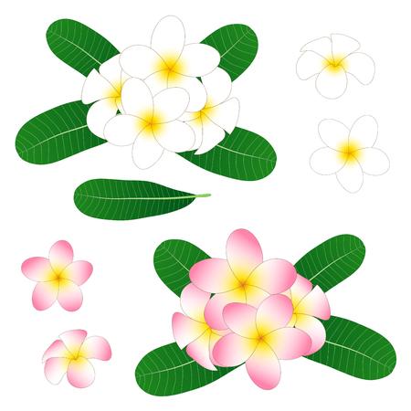 白とピンクのプルメリア、フランジパニは白背景に分離。ベクトルの図。