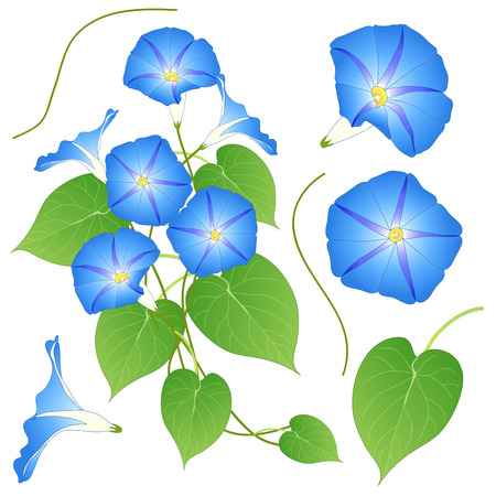ipomoea: Blue Morning Glory. isolated on White Background. Vector Illustration.