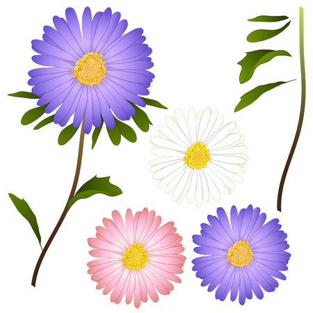 Purple, Pink and White Aster Flower. isolated on White Background. Vector Illustration.