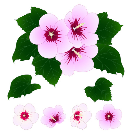 Rose of Sharon Vector Illustration Illustration