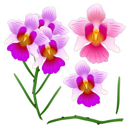 バンダ ミス ジョアキム蘭。シンガポールの国花。白背景に分離されました。ベクトルの図。