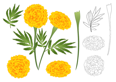 Marigold Flower Outline.