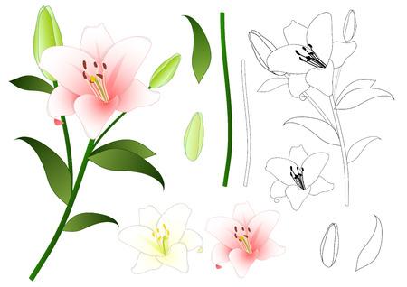 릴리 움 candidum, 마돈나 릴리 또는 화이트 릴리. 이탈리아의 국가 꽃. 벡터 일러스트 레이 션. 흰색 배경에 고립.