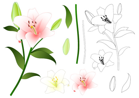Lilium candidum, the Madonna lily or White Lily. National Flower of Italy. Vector Illustration. Isolated on White Background. Stock Vector - 90366305
