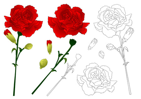 Dianthus caryophyllus - Carnation Flower, National flower of Spain, Monaco, and Slovenia. Vector Illustration. isolated on white Background. Illustration