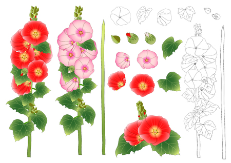 Alcea Rosea Outline - hollyhocks, Aoi in the mallow family Malvaceae. Orange Red Flower Color . isolated on White Background. Vector Illustration.