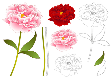 Pink and Red Peony Flower Outline. isolated on White Background. Vector Illustration.