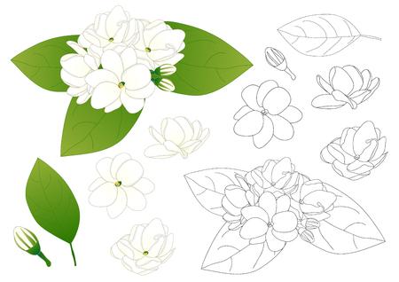 Jasminum sambac - Arabian jasmine Outline. Vector Illustration. isolated on White Background. Vettoriali