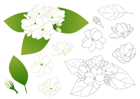 Jasminum sambac - Arabian jasmine Outline. Vector Illustration. isolated on White Background. Vectores