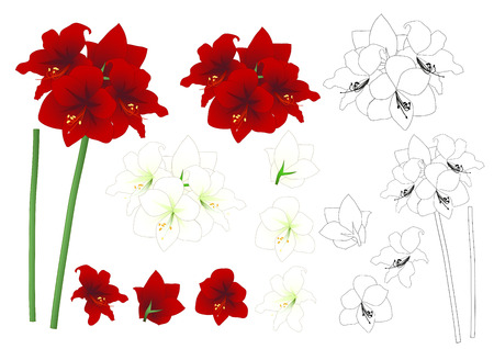 Red and White Amaryllis Outline - Hippeastrum. Christmas Flower. Vector Illustration. isolated on White Background. Иллюстрация